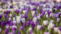 Crocus flowers field Royalty Free Stock Photo