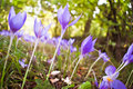 Crocus flowers in forest Stock Photo