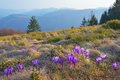 Crocus flowers in the mountains mountain landscape with beautiful of crocuses carpathians ukraine Royalty Free Stock Photos