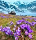 Crocus Flowers On Spring Mount...