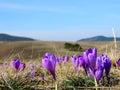 Crocus flowers springtime on mountain zlatibor Stock Photo