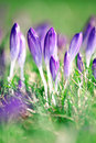 Crocus flowers in Springtime sunshine. Royalty Free Stock Images