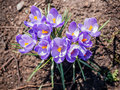 Crocus in full bloom from above with some dirt around it Royalty Free Stock Photo