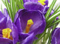 Crocus Garden Royalty Free Stock Photos