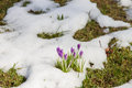Crocus growing out of snow a grows snows rests on a meadow and blossoms Royalty Free Stock Photos
