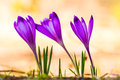 Crocus heuffelianus purple flower on the spring meadow Royalty Free Stock Images