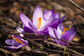 Crocus heuffelianus purple flower on the spring meadow Royalty Free Stock Photography