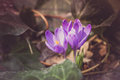 Crocus heuffelianus purple flowers, vintage photo. Spring time, primrose plants Royalty Free Stock Photo