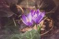 Crocus Heuffelianus Purple Flo...