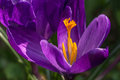 Pistil of crocus and saffron beads Royalty Free Stock Photo
