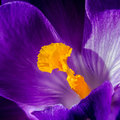 Crocus pistil, saffron flower Royalty Free Stock Photo