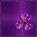 Crocus pourpres Images stock