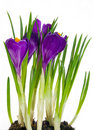 Crocus purple Stock Photography