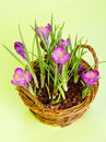 Crocus purple flowers Royalty Free Stock Images
