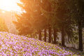 Crocus purple in mountain forest Royalty Free Stock Photo