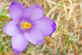 Crocus sativus Royalty Free Stock Photography