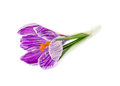 Crocus single with water drop isolate on a white Royalty Free Stock Photo