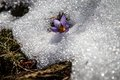 Crocus and snow in spring early blooming flowers high crimean mountains Stock Image