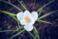 Crocus Spring Flower Royalty Free Stock Photo