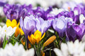 Crocus spring flowers close up shot of blooming crocuses close up Royalty Free Stock Photos