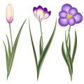 Crocus spring flowers isolated on white background this is file of eps format Royalty Free Stock Image
