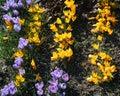 Crocus vernus spring crocus giant crocus flower Royalty Free Stock Image