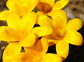 Crocus vernus spring crocus giant crocus spring flower saffron yellow Stock Photos