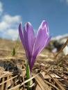 Crocus vernus violet in early spring Royalty Free Stock Image