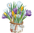 Crocuses in a basket Stock Photo