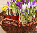 Crocuses are in a basket Stock Images
