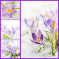 Crocuses collage Royalty Free Stock Photo