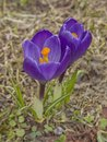 Violet crocus on spring meadow Royalty Free Stock Photo