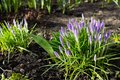 Crocuses with green leaves in the ground.