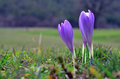Crocuses meadow against blurry background Stock Photography
