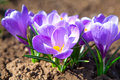 Crocuses purple in spring day Stock Photos