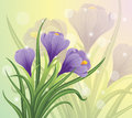 Crocuses spring crocus flowers on a pastel background Royalty Free Stock Image