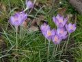 Crocuses in spring. Crocuses. Flowers in spring Royalty Free Stock Photo