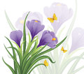 Crocuses spring flowers with yellow butterflies on a white background Stock Photos