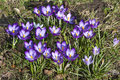 Crocuses, herald of spring Royalty Free Stock Photo