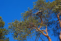 Crohn pine background blue sky spring comes Stock Photography