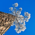 Crohn s pine against the sky in hoarfrost on a background of blue Stock Photo