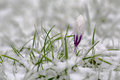 Croocus a crocus flower fighting the the cold temperature in an unpredicteble weather season photo taken in mars month sweden Stock Photo