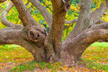 Crooked old deciduous tree Royalty Free Stock Photo