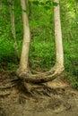 Crooked tree Royalty Free Stock Photo