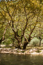 Crooked trees view of forest with Royalty Free Stock Photos