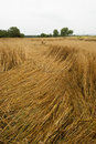 Crop damage in the cornfield germany after storm Stock Photography