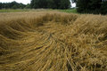 Crop damage in the cornfield germany after storm Royalty Free Stock Image