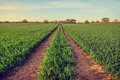 Crop field with tracks to follow Royalty Free Stock Photo