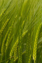 A crop of green Barley Royalty Free Stock Photo
