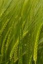 A crop of green Barley Royalty Free Stock Photo